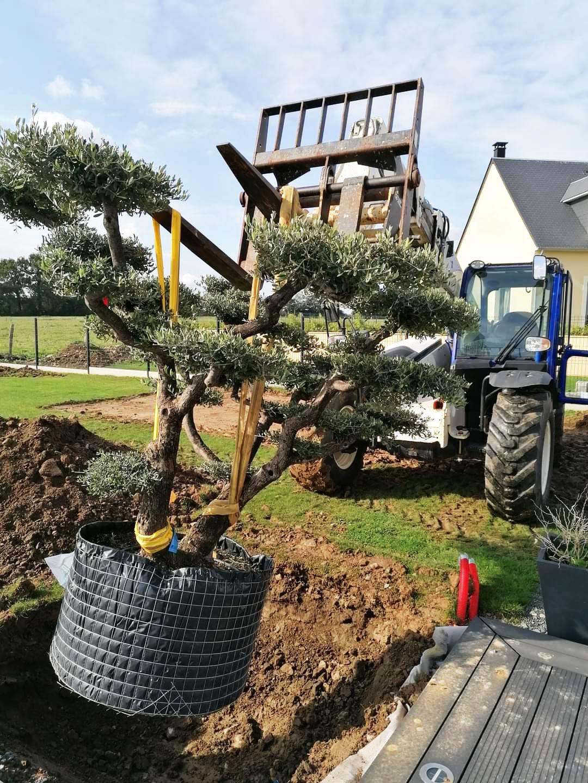 mise en place oliviers dans jardin