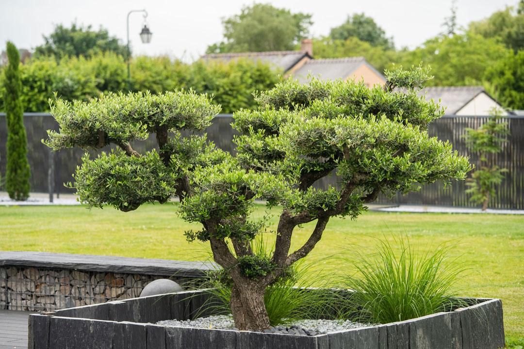 oliviers dans jardin moderne un coin de nature